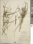 view Parkinsonia aculeata L. digital asset number 1