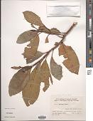 view Ficus fistulosa Reinw. ex Blume digital asset number 1