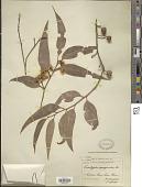 view Eucalyptus marginata digital asset number 1