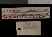 view Dipodomys microps russeolus Goldman, 1939 digital asset number 1