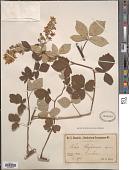 view Rubus lloydianus Genev. digital asset number 1