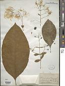 view Chionanthus virginicus L. digital asset number 1