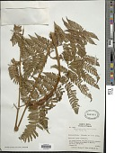 view Ctenitis sloanei (Poepp. ex Spreng.) C.V. Morton digital asset number 1