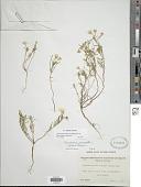 view Camissonia campestris (Greene) P.H. Raven subsp. campestris digital asset number 1