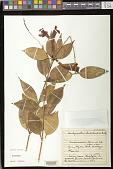 view Aeschynanthus rhododendron Ridl. digital asset number 1