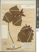 view Trillium erectum L. digital asset number 1