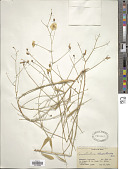 view Convolvulus chondrilloides Boiss. digital asset number 1