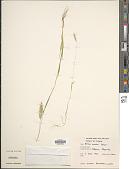 view Holcus annuus Salzm. ex C.A. Mey. digital asset number 1