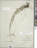 view Rhynchospora nervosa (Vahl) Boeckeler digital asset number 1