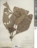 view Pentagonia macrophylla digital asset number 1