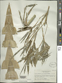 view Bambusa textilis var. glabra McClure digital asset number 1