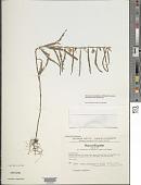 view Chamaecrista nictitans var. pilosa (Benth.) H.S. Irwin & Barneby digital asset number 1