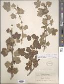 view Ribes oxyacanthoides subsp. cognatum (Greene) Q.P. Sinnott digital asset number 1