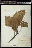 view Alchornea cordifolia (Schumach. & Thonn.) Müll. Arg. digital asset number 1