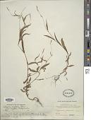 view Polygonum longisetum Bruijn digital asset number 1