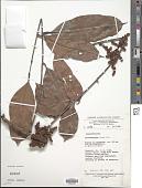 view Trichoscypha lucens Oliv. digital asset number 1