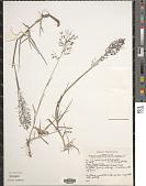view Eragrostis unioloides (Retz.) Nees ex Steud. digital asset number 1
