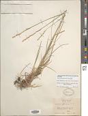 view Elymus lanceolatus (Scribn. & J.G. Sm.) Gould subsp. lanceolatus digital asset number 1