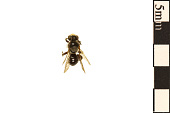 view Oil-collecting Bee, Melittid Bee digital asset number 1