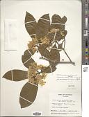 view Tabernaemontana arborea Rose in Donn. Sm. digital asset number 1