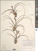 view Tillandsia bulbosa Hook. digital asset number 1