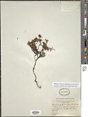 view Loiseleuria procumbens (L.) Desv. digital asset number 1