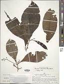 view Parathesis adenanthera (Miq.) Hook. f. ex Mez digital asset number 1