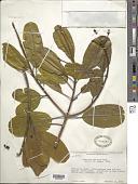 view Vochysia speciosa Warm. digital asset number 1