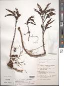 view Procris pedunculata (J.R. Forst. & G. Forst.) Wedd. digital asset number 1