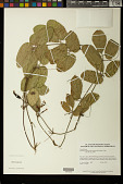 view Gurania bignoniacea (Poepp. & Endl.) C. Jeffrey digital asset number 1
