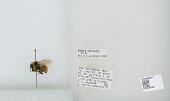view Bombus (Pyrobombus) sylvicola digital asset number 1