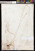 view Carex vallicola Dewey digital asset number 1