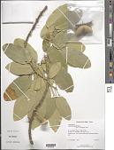 view Morisonia americana L. digital asset number 1