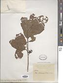 view Itea chinensis W. Hook. & H.J. Arn. digital asset number 1