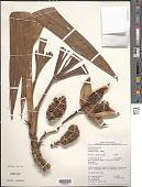 view Thoracocarpus bissectus (Vell.) Harling digital asset number 1