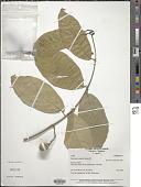 view Bunchosia argentea (Jacq.) DC. digital asset number 1