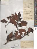 view Photinia prunifolia (Hook. & Arn.) Lindl. digital asset number 1