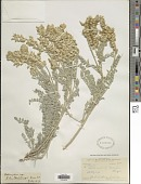 view Astragalus spaldingii A. Gray digital asset number 1
