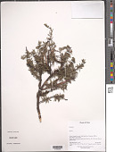 view Spiraea sp. digital asset number 1
