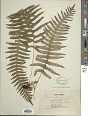 view Polypodium plesiosorum Kunze digital asset number 1