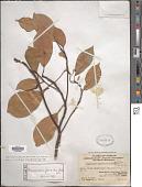 view Cinnamomum porrectum (Roxb.) Kosterm. digital asset number 1