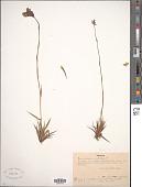 view Burmannia disticha L. digital asset number 1
