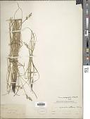 view Carex praegracilis W. Boott digital asset number 1