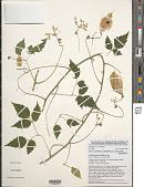 view Cardiospermum grandiflorum Sw. digital asset number 1