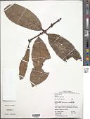 view Salacia maburensis Mennega digital asset number 1
