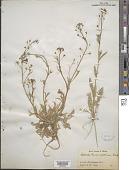 view Capsella bursa-pastoris (L.) Medik. digital asset number 1
