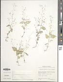 view Diastatea micrantha (Kunth) McVaugh digital asset number 1