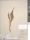 view Zannichellia palustris L. digital asset number 1