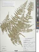 view Pteridium caudatum (L.) Maxon digital asset number 1