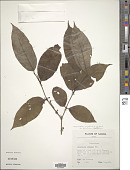 view Geniostoma rupestre var. glaberrimum J.R. Forst. & G. Forst. digital asset number 1
